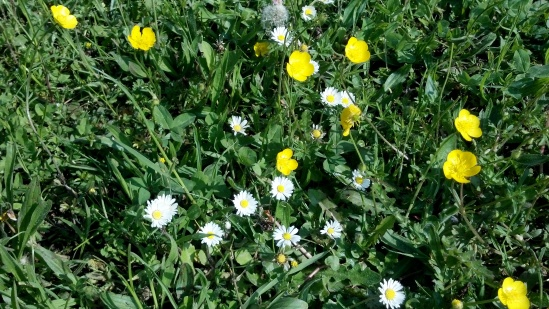 Buttercups & daisies, 22 May 2012 (Oxfordshire)